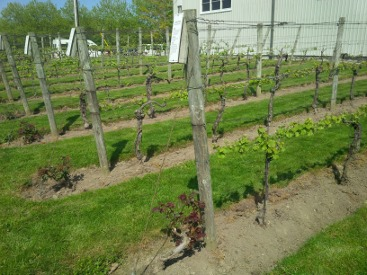 Pelee Island Vineyard Rose